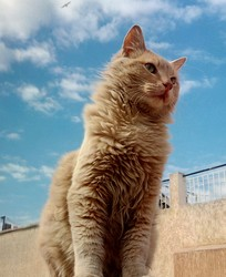 Minouch, chat Européen