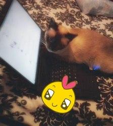 Minoucha, chat Siamois