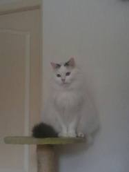 Minouche, chat Angora turc