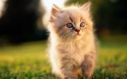 Minouche, chat Persan