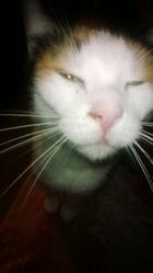 Minouche, chat Gouttière