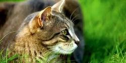 Minouche, chat Européen