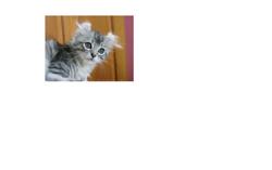 Minouche, chat American Curl