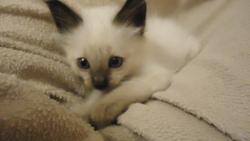 Minouche, chat Siamois