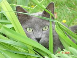 Minouche, chat Bleu russe