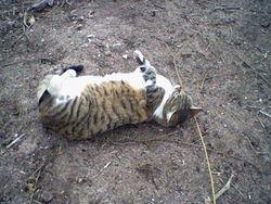 Minouche, chat Maine Coon
