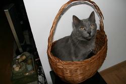 Minouche, chat Chartreux