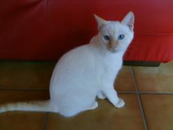 Minouchka, chat Européen