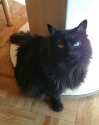 Minoue, chat