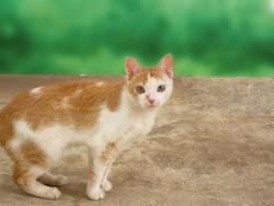 Minto, chat Gouttière