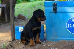 Minus, chien Rottweiler