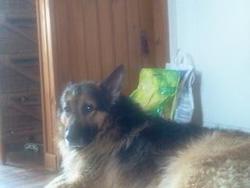 Minus, chien Berger allemand