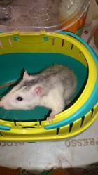 Minus, rongeur Rat