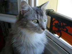 Mio, chat Norvégien
