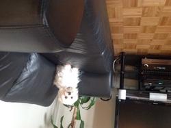 Miquette, chien Bichon maltais