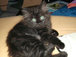 Miquette, chat