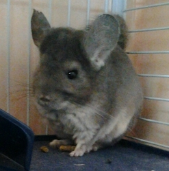 Mira, rongeur Chinchilla