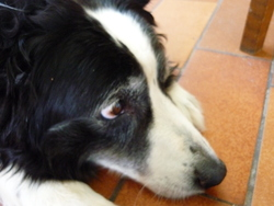 Mira, chien Border Collie