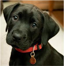 Mirabel, chien Labrador Retriever