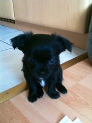Calypso , chien Chihuahua