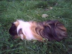 Mirabelle, rongeur Cochon d'Inde