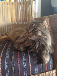 Mirabelle , chat Maine Coon