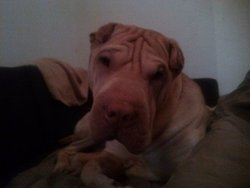 Miracle, chien Shar Pei