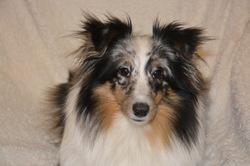 Mirage, chien Berger des Shetland