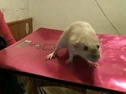 Mirasy, rongeur Rat