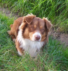 Mirko, chien Berger australien