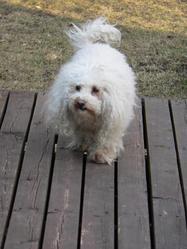 Mirko, chien Bichon à poil frisé