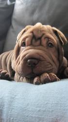 Miro, chien Shar Pei