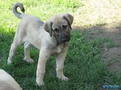 Miro A Etait Adopter, chien Berger d'Anatolie