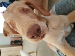 Miro, chiot Labrador Retriever