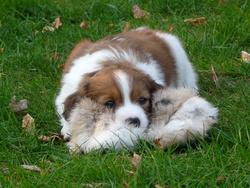 Mirtille, chien Petit chien hollandais de chasse au gibier d'eau
