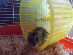 Mirtille, rongeur Hamster