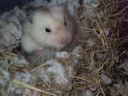 Misteur Jigle, rongeur Hamster