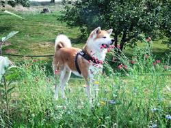Misao, chien Akita Inu