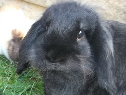 Misky, rongeur Lapin