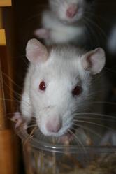 Misfit, rongeur Rat