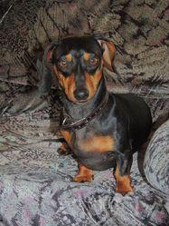 Mishka, chien Teckel