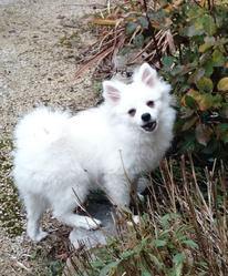 Mishka, chien Spitz allemand