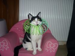 Miska, chat Européen