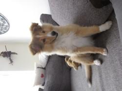 Miska, chien Berger des Shetland