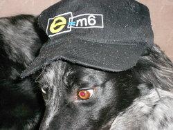 Miss, chien Setter anglais