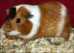 Miss, rongeur Cochon d'Inde
