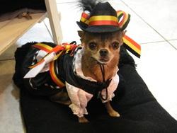 Miss Chiwa, chien Chihuahua