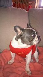 Miss Holly Bull, chien Bouledogue français
