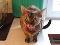 Miss Kitty, chat Devon Rex