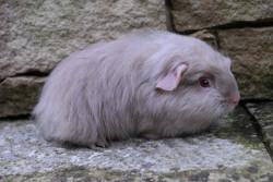 Miss Lie, rongeur Cochon d'Inde